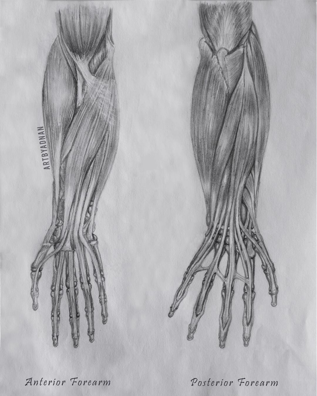 Forearm Anatomy - Art By Adnan